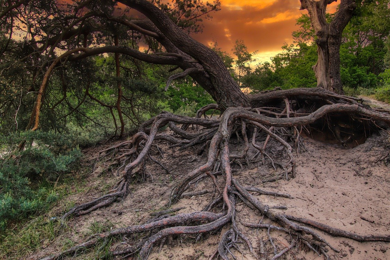 tree, tree root, sunset
